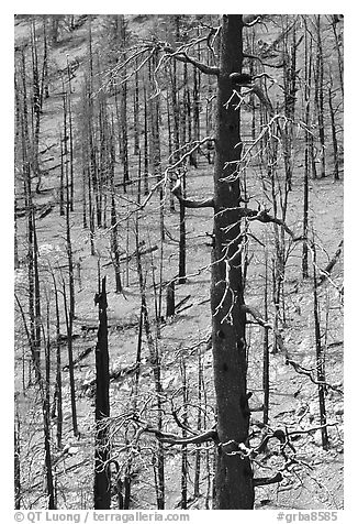 Slopes with burned forest. Great Basin National Park (black and white)