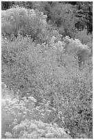 Sagebrush in bloom. Great Basin National Park ( black and white)