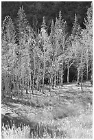 Aspens in fall color. Great Basin National Park ( black and white)