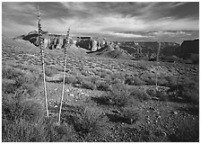 Agave flower skeletons in Surprise Valley, late afternoon. Grand Canyon  National Park ( black and white)