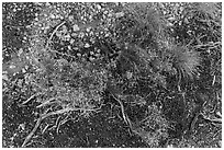 Ground close-up with flowers and gravel. Grand Canyon National Park, Arizona, USA. (black and white)