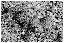 Cactus growing on rock with lichen. Grand Canyon National Park, Arizona, USA. (black and white)