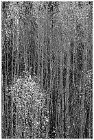 Tall aspens in autumn. Grand Canyon National Park, Arizona, USA. (black and white)