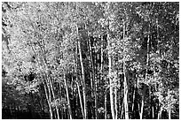 Aspens in  fall. Grand Canyon National Park, Arizona, USA. (black and white)