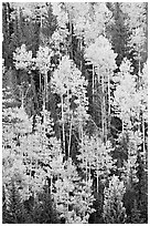 Aspens and evergeens on hillside, North Rim. Grand Canyon National Park, Arizona, USA. (black and white)