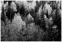 Backlit Aspen forest in autumn foliage on hillside, North Rim. Grand Canyon National Park, Arizona, USA. (black and white)
