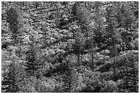 Slope with pine trees and shurbs in autumn foliage. Mesa Verde National Park, Colorado, USA. (black and white)