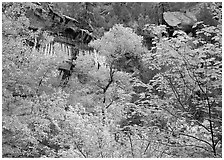 Cliff, waterfall, and trees in fall colors, near  first Emerald Pool. Zion National Park, Utah, USA. (black and white)