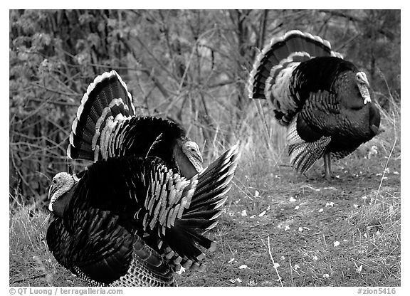 Wild Turkeys. Zion National Park, Utah, USA.