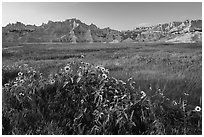 Sunflowers, meadow and badlands, late afternoon. Badlands National Park ( black and white)