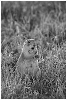 Standing prairie dog holding grass with hind paws. Badlands National Park ( black and white)