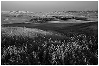 Sunflower carpet, rolling hills, and badlands, Badlands Wilderness. Badlands National Park ( black and white)
