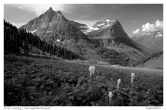 Bear grass, Mt Oberlin and Cannon Mountain. Glacier National Park, Montana, USA.