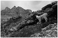 Mountain goat and Garden wall near Logan pass. Glacier National Park, Montana, USA. (black and white)