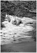 Mountain goats cool off on a neve at Logan Pass. Glacier National Park, Montana, USA. (black and white)