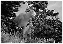 Two mountain goats in forest. Glacier National Park, Montana, USA. (black and white)
