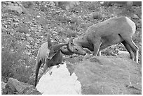 Bighorn sheep fighting. Glacier National Park, Montana, USA. (black and white)