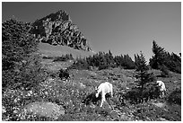 Mountain goats in wildflower meadow below Clemens Mountain, Logan Pass. Glacier National Park, Montana, USA. (black and white)