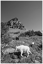 Mountain goat and cub in a meadown below Clemens Mountain, Logan Pass. Glacier National Park, Montana, USA. (black and white)