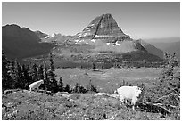 Mountain goats, Hidden Lake, Bearhat Mountain. Glacier National Park, Montana, USA. (black and white)