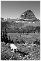 Young mountain goat, with Hidden Lake and Bearhat Mountain in the background. Glacier National Park, Montana, USA. (black and white)