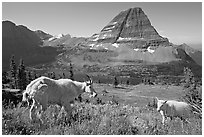 Mountain goat and kid, Hidden Lake and Bearhat Mountain in the background. Glacier National Park, Montana, USA. (black and white)