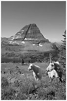 Mountain goats, Hidden Lake and Bearhat Mountain behind. Glacier National Park, Montana, USA. (black and white)