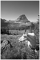 Mountain goat seen at close range near Hidden Lake overlook. Glacier National Park, Montana, USA. (black and white)