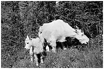 Mountain goat and kid. Glacier National Park, Montana, USA. (black and white)