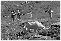 Hikers watching mountains goats near Logan Pass. Glacier National Park, Montana, USA. (black and white)