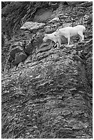 Mountain goats high on a ledge. Glacier National Park, Montana, USA. (black and white)