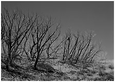 Dead trees on sand dunes. Great Sand Dunes National Park ( black and white)