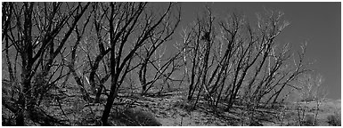 Tree skeletons on dunes. Great Sand Dunes National Park (Panoramic black and white)