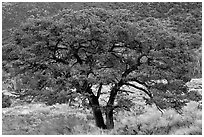 Pinyon pine tree. Great Sand Dunes National Park and Preserve ( black and white)