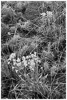Yellow flowers and cactus. Great Sand Dunes National Park and Preserve ( black and white)