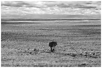 Lonely tree on plain. Great Sand Dunes National Park and Preserve ( black and white)