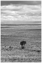 Lone tree and flatland. Great Sand Dunes National Park and Preserve ( black and white)