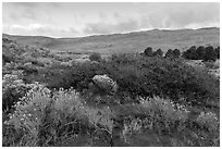 Shrubs in autumn and dunes. Great Sand Dunes National Park, Colorado, USA. (black and white)