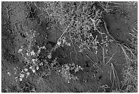 Ground close-up with flowers, shrubs, and sand. Great Sand Dunes National Park and Preserve ( black and white)