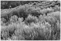 Sage and rabbitbrush. Great Sand Dunes National Park and Preserve ( black and white)