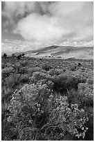 Rubber rabbitbrush. Great Sand Dunes National Park and Preserve ( black and white)