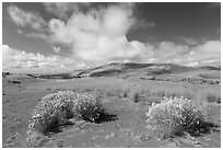Rabbitbrush in dried Medano creek bed. Great Sand Dunes National Park and Preserve ( black and white)