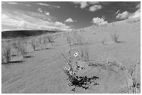 Prairie sunflowers and blowout grasses on sand dunes. Great Sand Dunes National Park, Colorado, USA. (black and white)