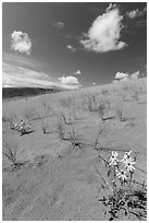 Prairie sunflowers and blowout grasses on dune field. Great Sand Dunes National Park and Preserve ( black and white)