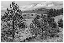 Pinyon pines. Great Sand Dunes National Park and Preserve ( black and white)