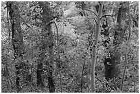 Forest in autumn along Mosca Creek. Great Sand Dunes National Park and Preserve ( black and white)