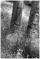 Aspen trunks in summer near Medano Pass. Great Sand Dunes National Park and Preserve ( black and white)