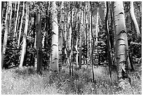 Aspen trees in summer near Medano Pass. Great Sand Dunes National Park and Preserve ( black and white)
