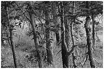 Fir trunks, Lower Sand Creek Lake. Great Sand Dunes National Park and Preserve ( black and white)