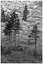 Fir trees, srubs in autumn color, and rocks. Great Sand Dunes National Park and Preserve ( black and white)